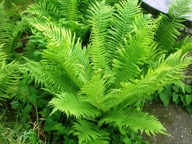 Магические растения: свойства лаванды и папоротника