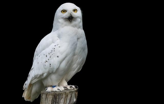 Талисман сова: значение и как подобрать магический оберег