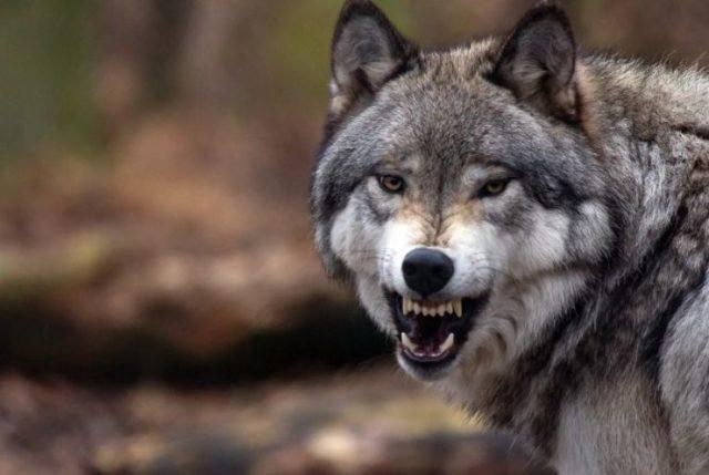 Амулет клык волка: значение для мужчин и женщин